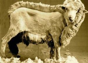half-shear-sheep